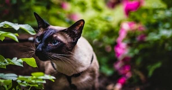 Siamese Cats A Wt Social Subwiki